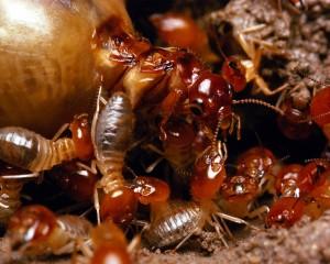 encinitas termites